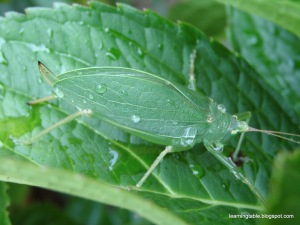 Nature Journal: Leaf Bug